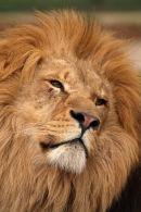 WHF Lion1