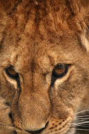 WHF Young Lioness 1