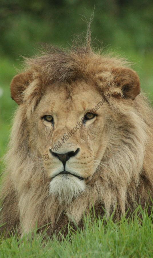 Longleat Male Lion 6