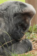 Nico  the Gorilla 3