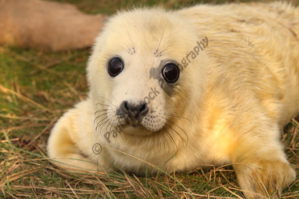 Grey Seal pup 2 approx 4 hrs old
