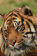 WHF Tiger2