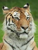 Longleat Tiger 6