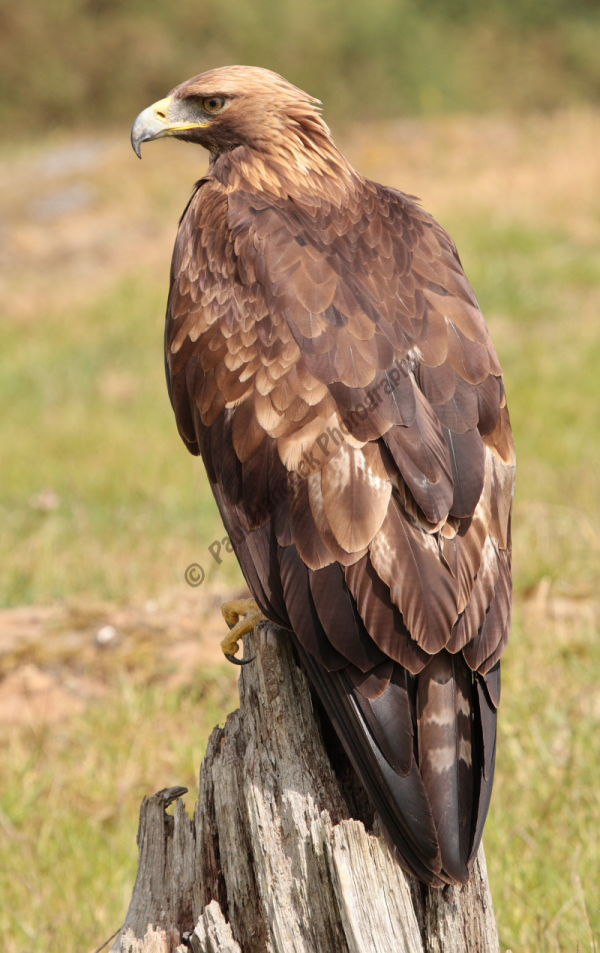 Golden Eagle 3