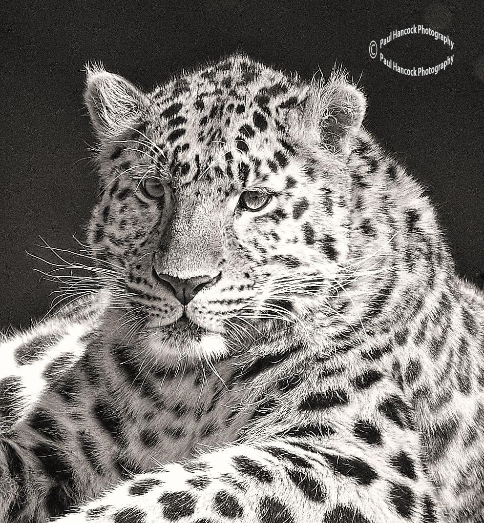YWP Leopard 4