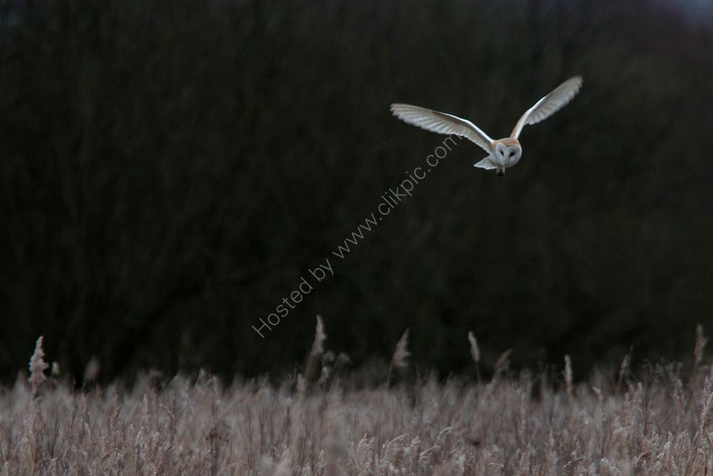 Barn Owl flying over a reedbed at dusk.