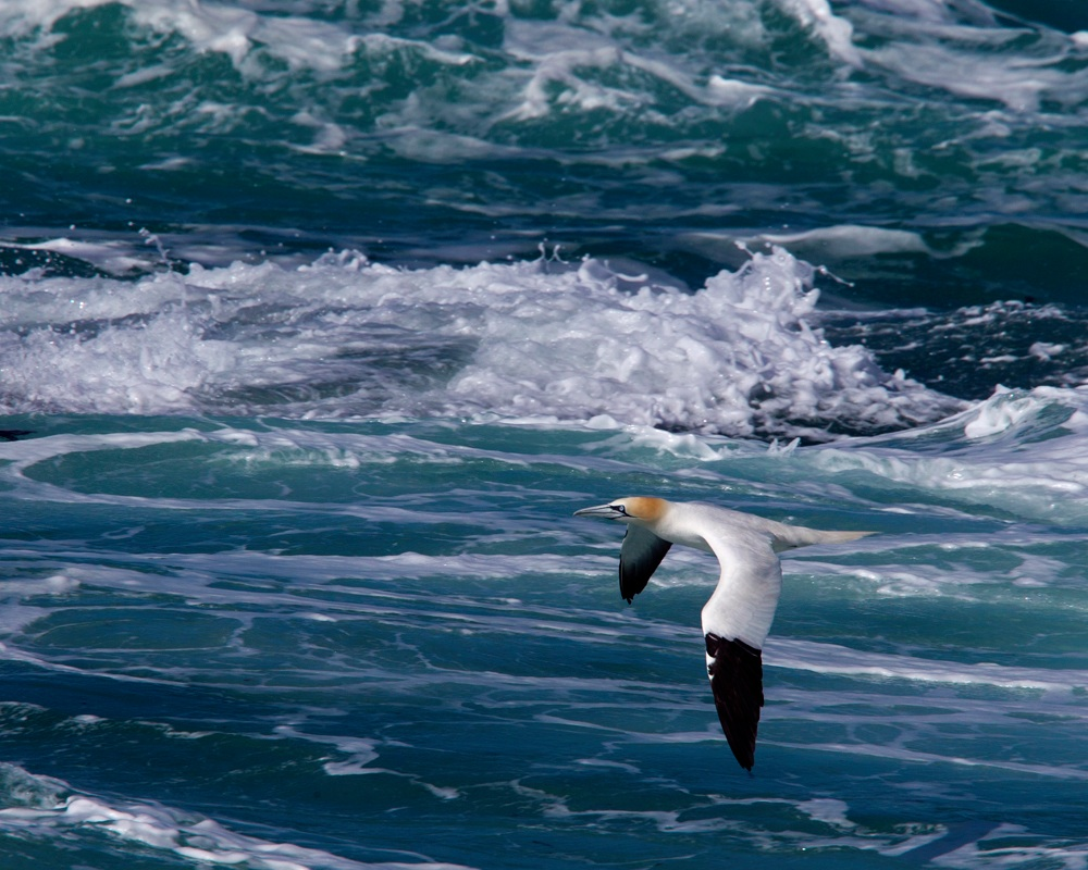 Gannet over a rough sea at Pendeen, Cornwall.