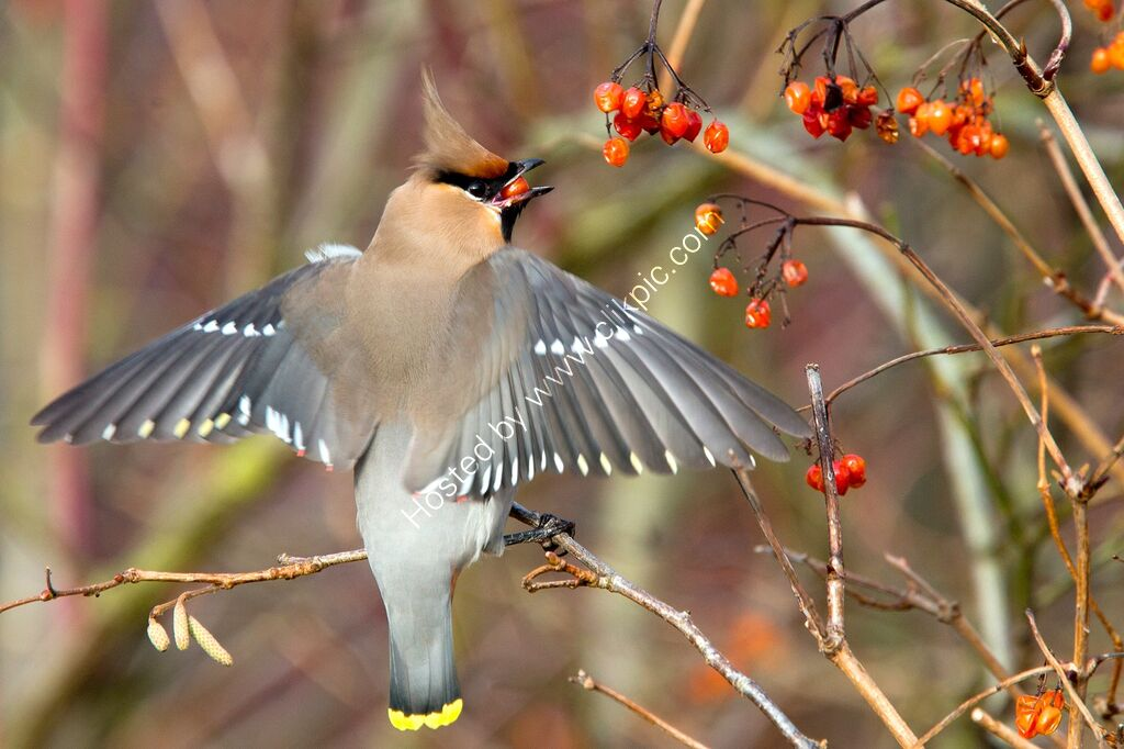 Waxwing eating a red berry