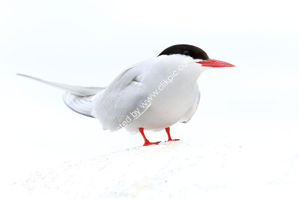 ArcticTern standing on a whitewashed wall.
