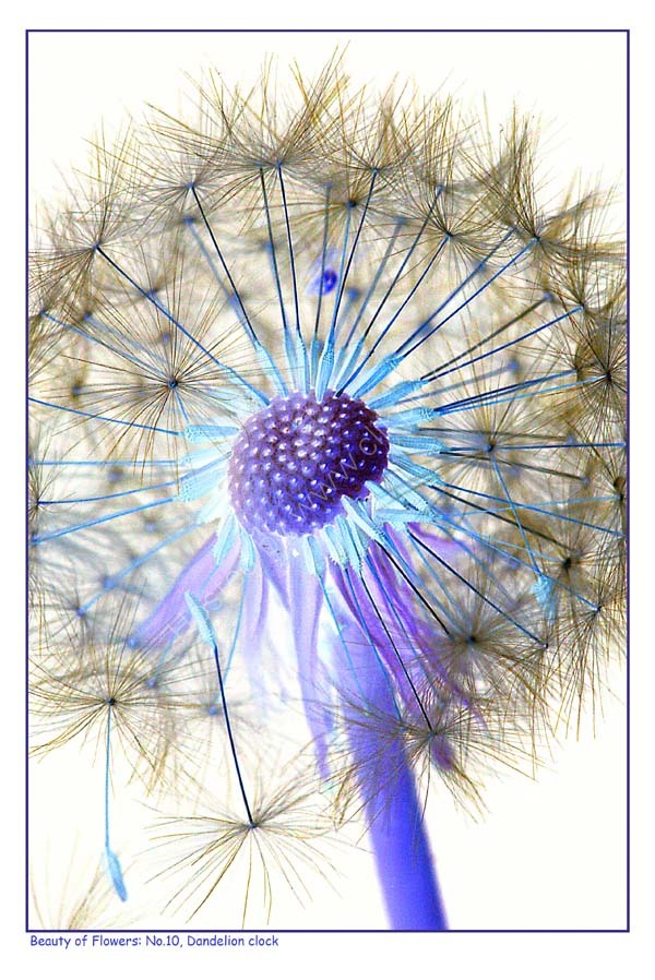Beauty of Flowers No.10: Dandelion clock. Limited Edition Giclée print.
