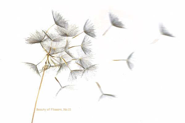 Beauty of Flowers No.11; Goatsbeard. Limited Edition Giclée print.