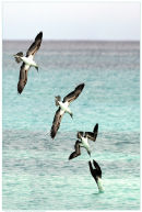 Nature in Action: Blue-footed Booby diving. Limited Edition Print. (Winner of the 'Action' category of the 2007 Visions of Science Photo Competition).