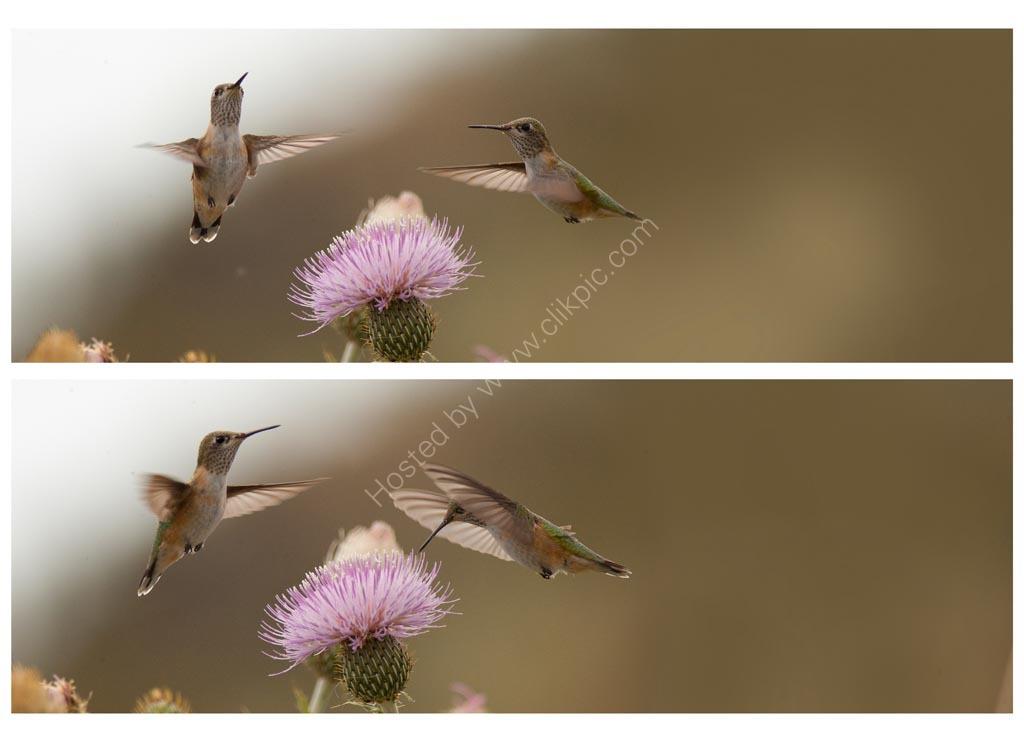 Nature in action: Calliope Hummingbirds 1 & 2.