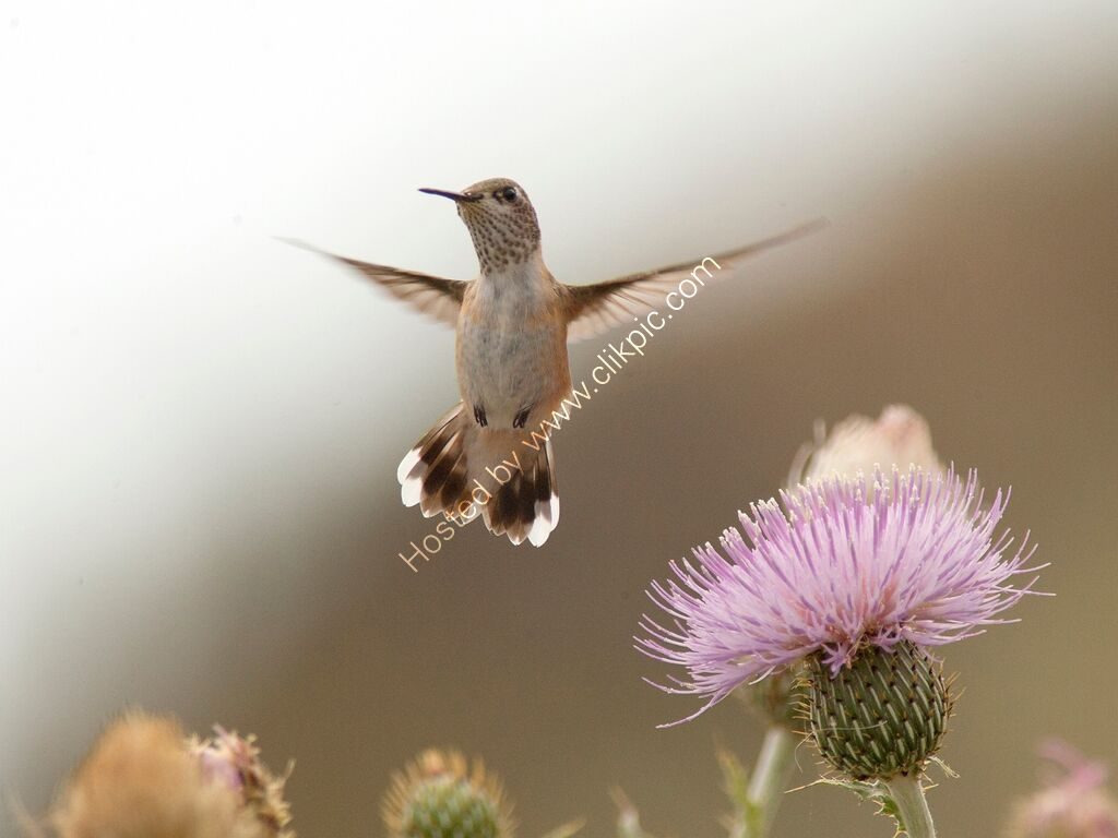 Calliope Hummingbird hovering over a purple thistle