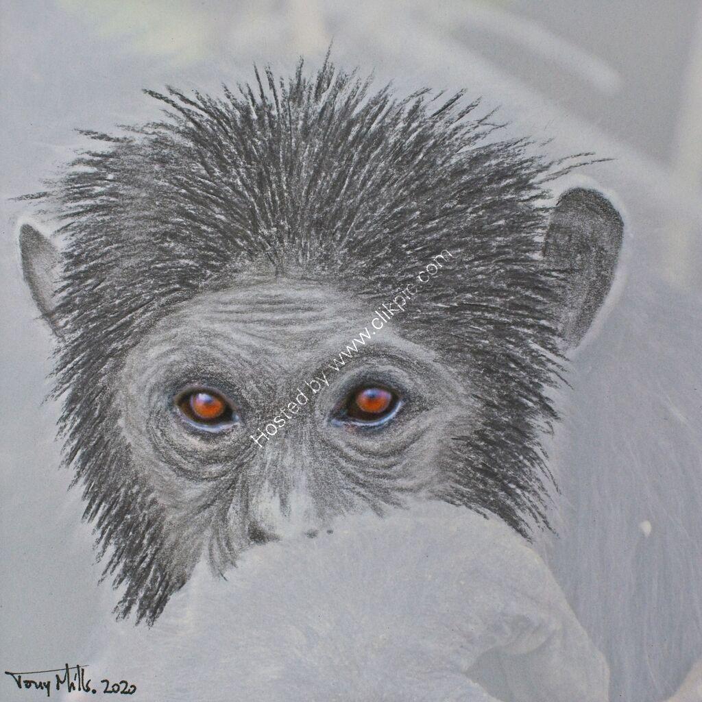 Chimpanzee 2#1