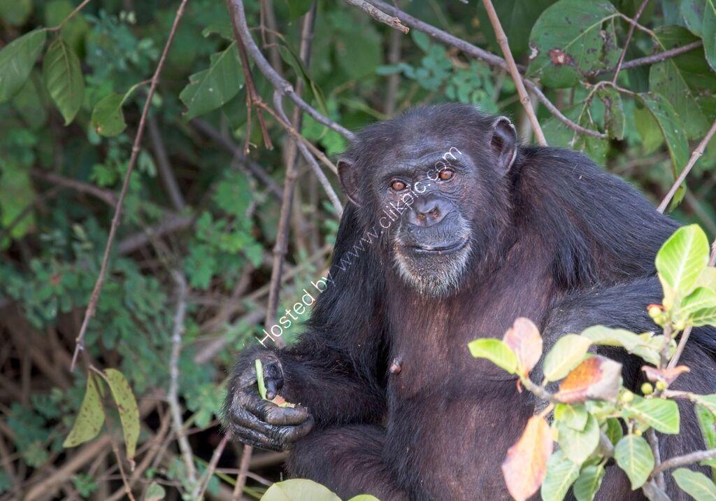 Chimpanzee in a tree