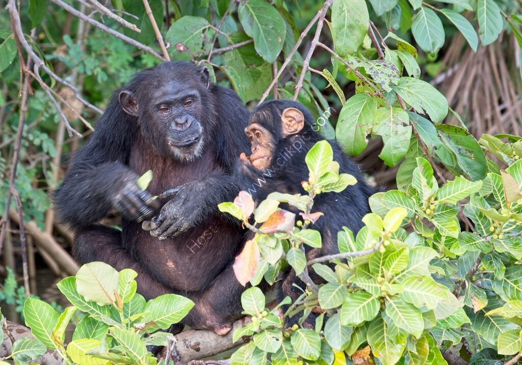 Chimpanzees, mother and youngster.