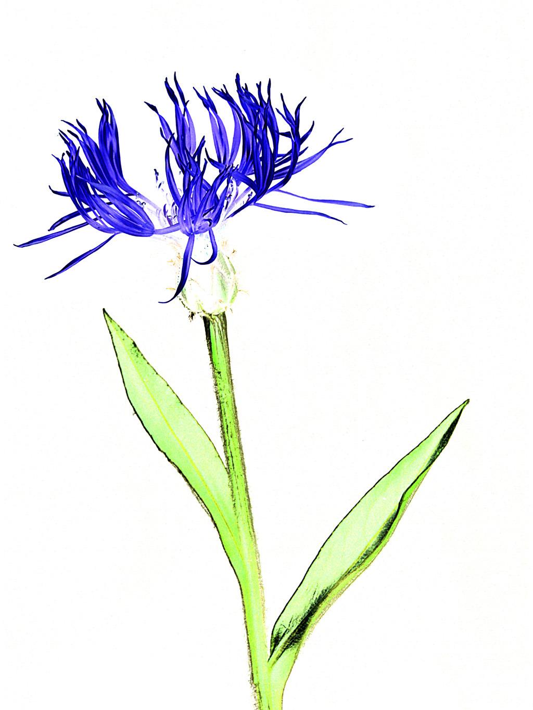 """Cornflower"", signed block-mounted canvas."