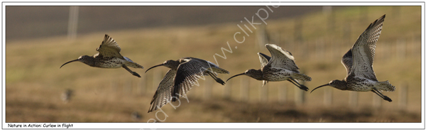 Nature in Action: Curlew in flight. Limited Edition Giclée print.