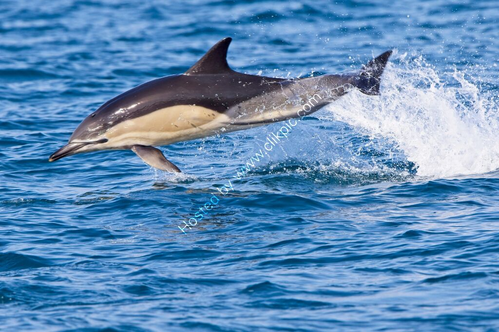 Common Dolphin leaping clear of the sea