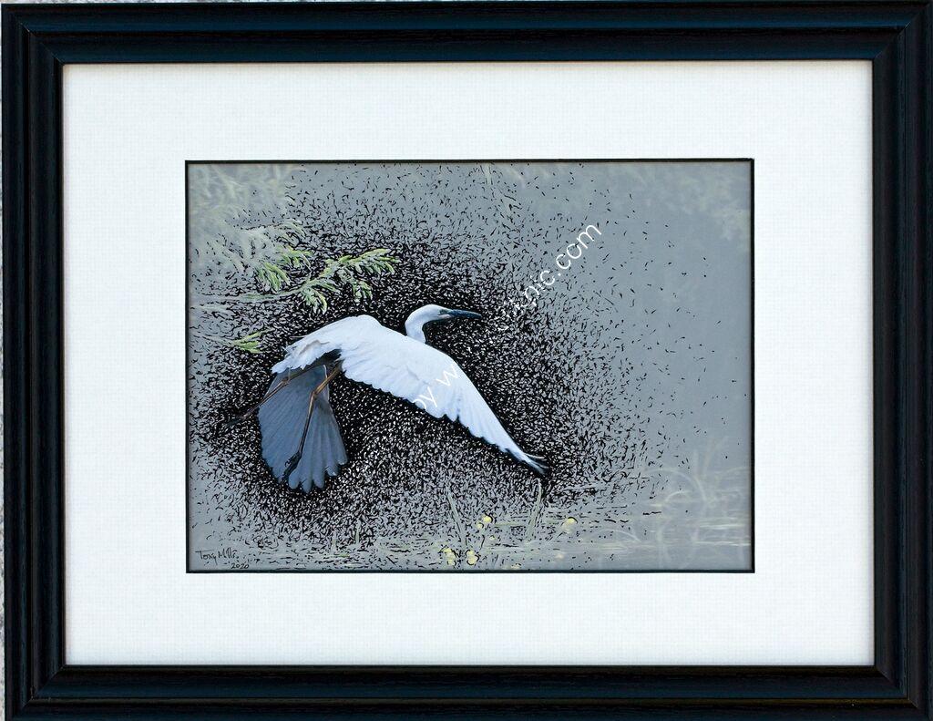 Great White Egret taking off #3 (framed)
