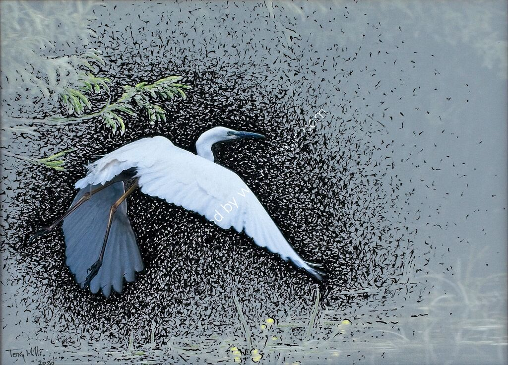 Great White Egret taking off #3