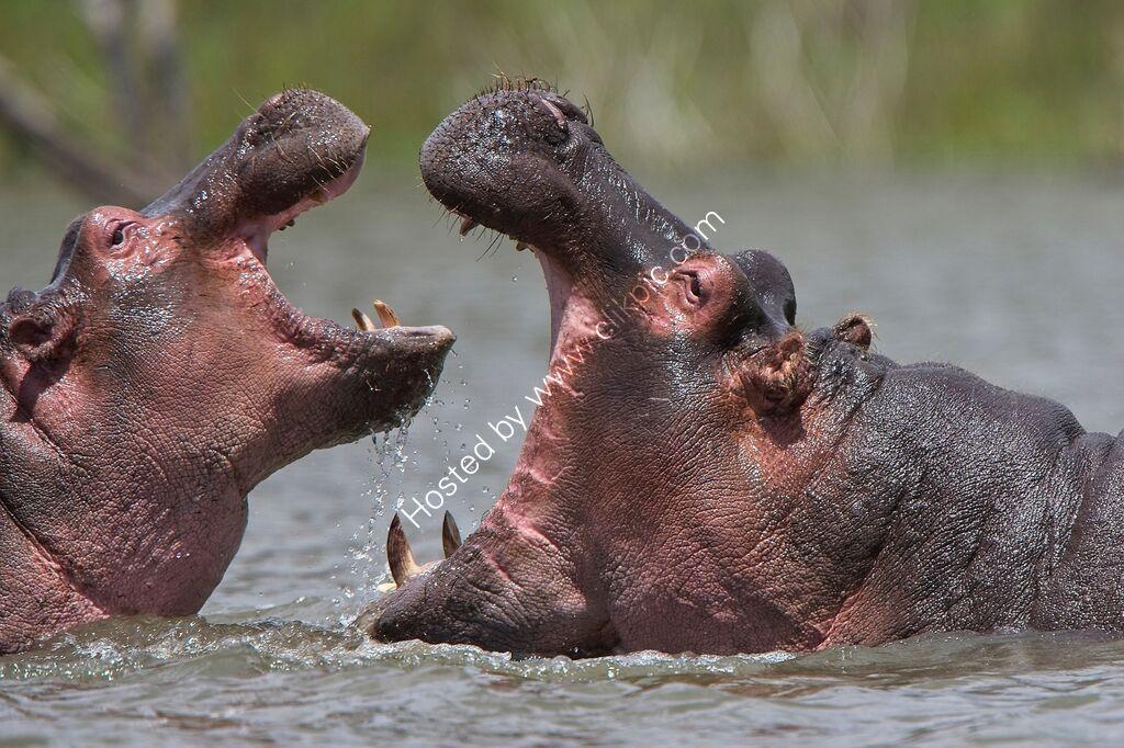 Hippopotamus, adult and juvenile.