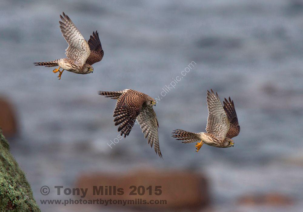 Kestrel taking off