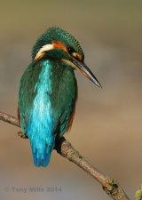 The watchful Kingfisher