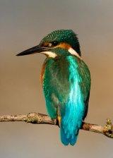Kingfisher No.3