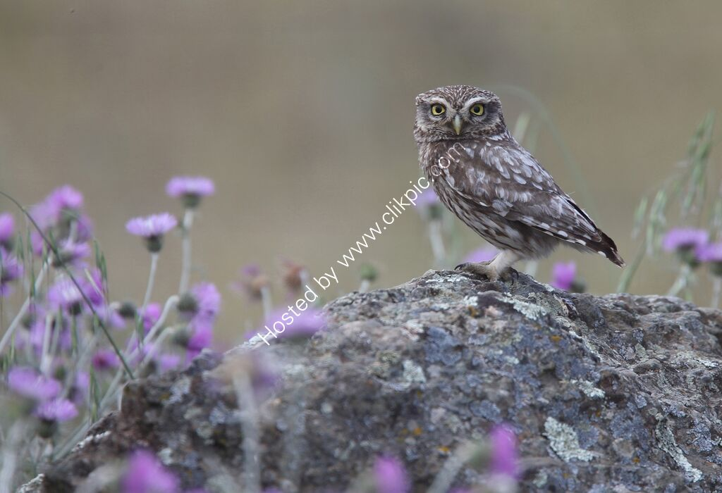 Little Owl and purple thistles