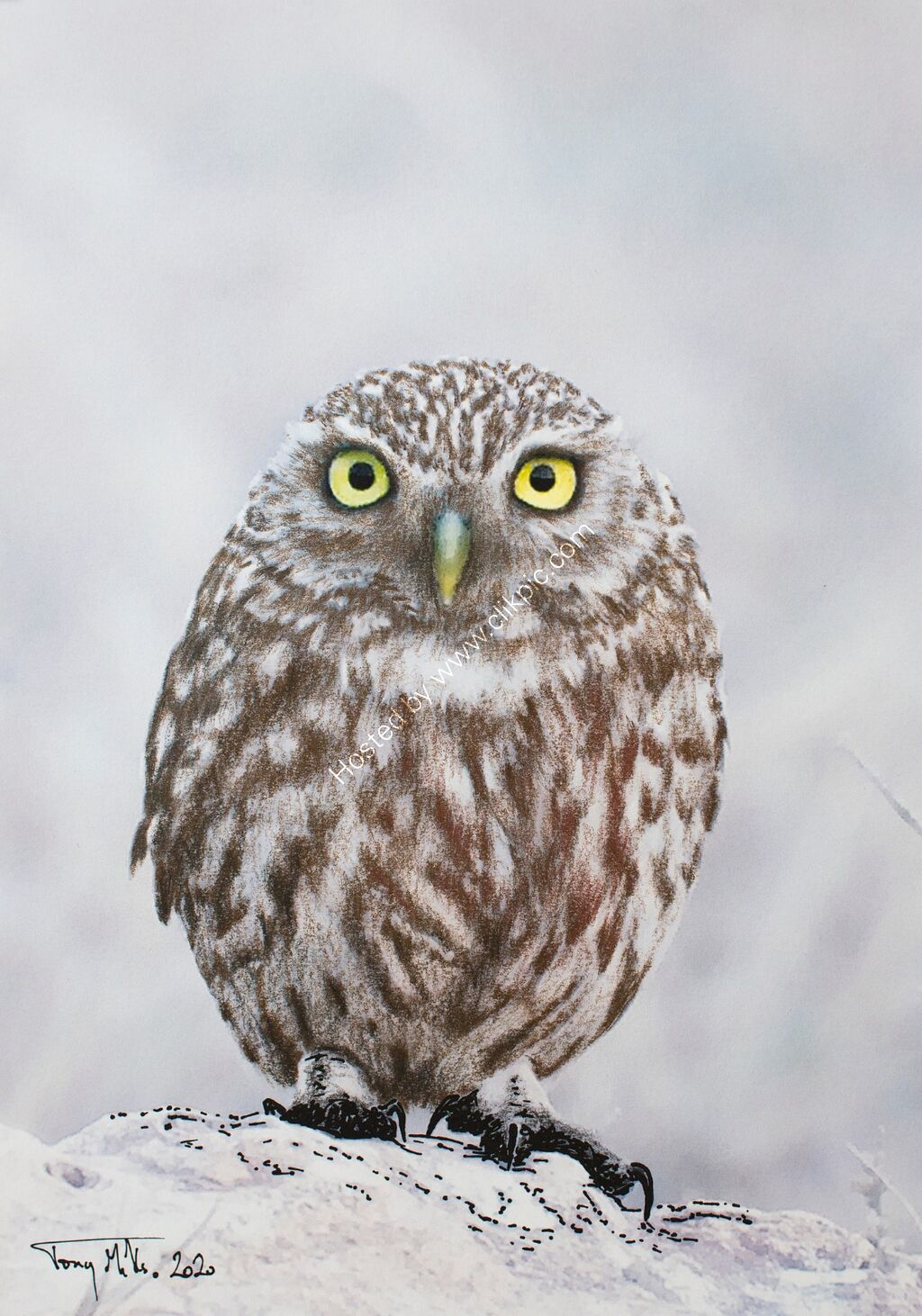 Little Owl #13
