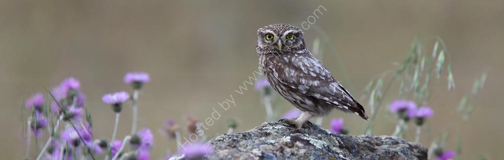 """I'm watchin' you"" - Little Owl. Limited edition giclée print."