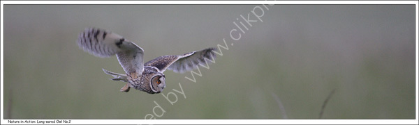 Nature in Action: Long-eared Owl, No.2. Limited Edition Giclée print.