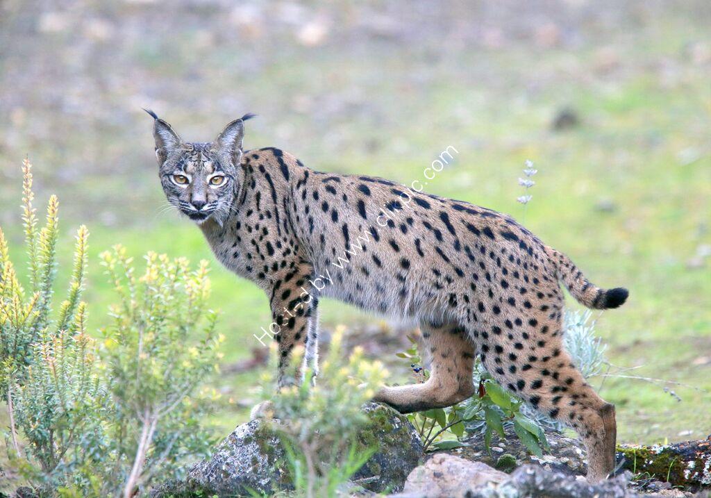 Iberian Lynx No.1