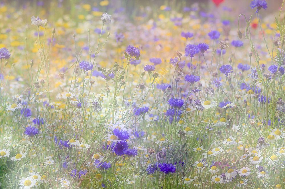 Wild flower meadow in pastel shades.