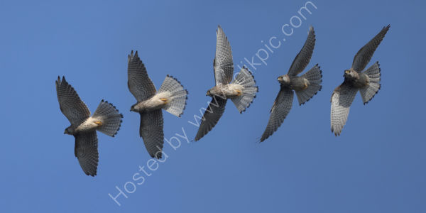 Nature in action: Kestrel, Limited edition Giclée print