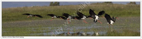Nature in Action: Black Stork landing. Limited Edition print.