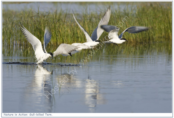 Nature in Action: Gull-billed Tern. Limited Edition print.
