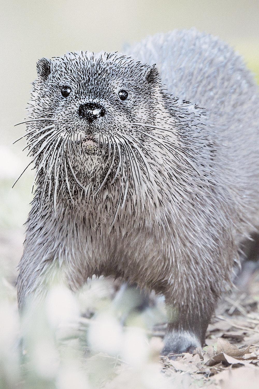 Otter No.2