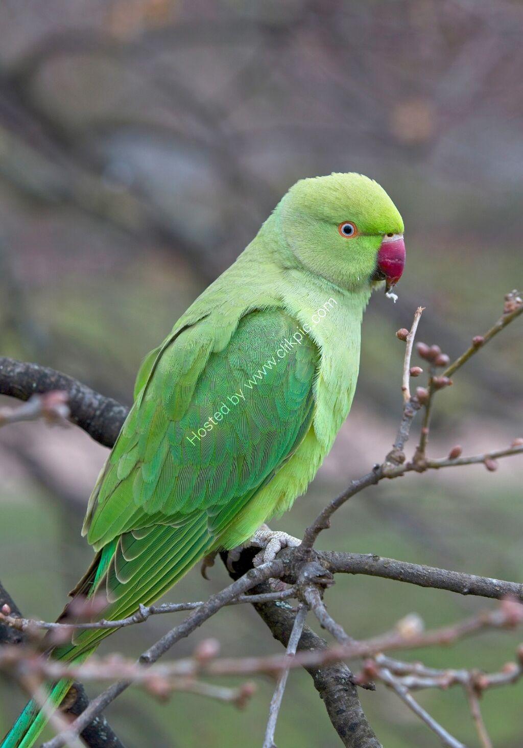 Ring-necked Parakeet, Kensington Gardens, London.