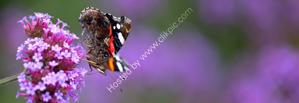 """Red Admiral nectaring"""