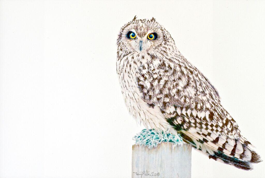 Short-eared Owl #2