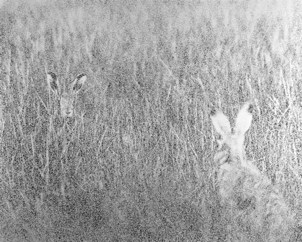 Spotted - Hares. Limited Edition Print.