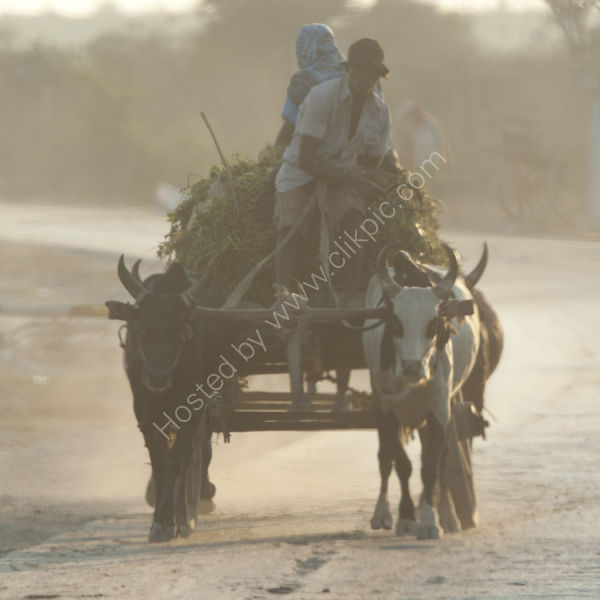 An Ox-drawn cart on the main road to Toliara