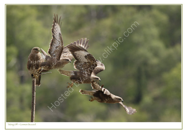 Taking Off - Common Buzzard. Limited Edition Print.