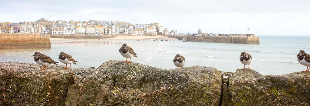 """Turnstones, StIves, Cornwall"""