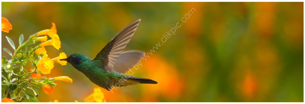Nature in action: Green Violetear hummingbird.
