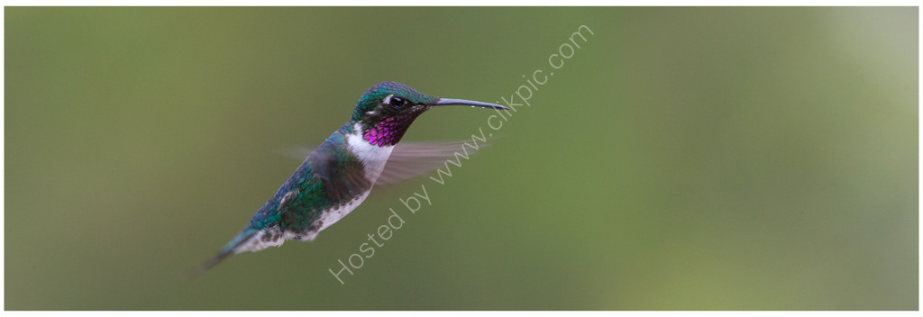 Nature in action: White-bellied Woodstar hummingbird