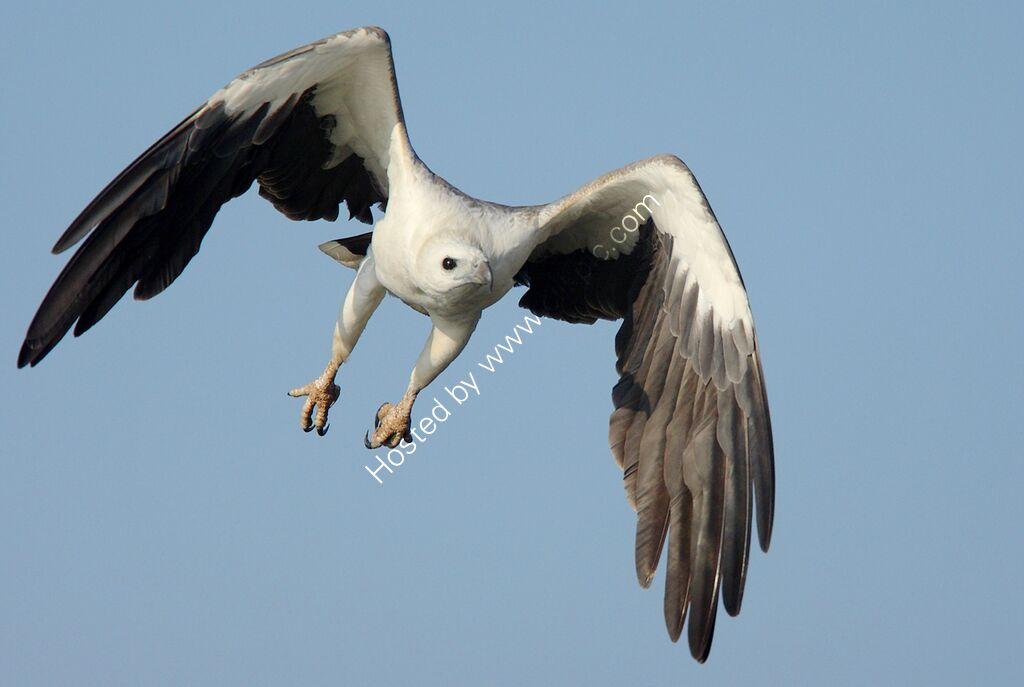 White-breasted Sea Eagle in flight